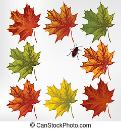 Maple leaves in autumn, set. Vector