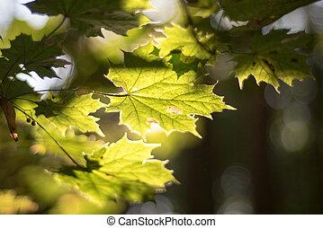 Maple leaves in autumn sun