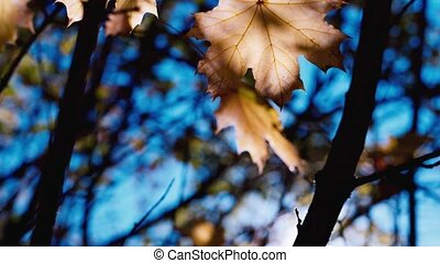 Maple leaves in autumn - Yellow maple leaves swaying in the...