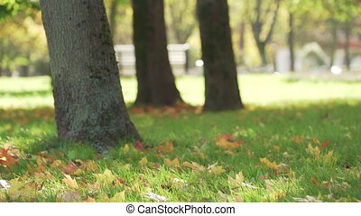 maple leaves in city park on grass autumn season, UHD prores footage