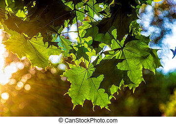 maple leaves in contre. rays of the sun through the leaves.
