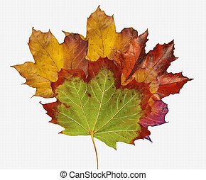 Maple leaves in early to late fall colors