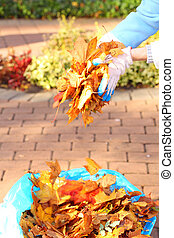 maple leaves in hand , golden autumn