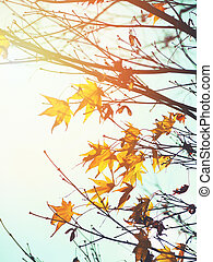 maple leaves in Japanese early autumn season at sunset.