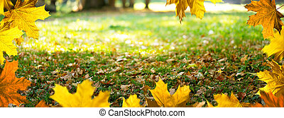 Maple leaves in the park. Autumn background.