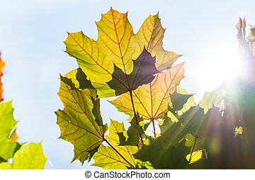Maple leaves in the sun