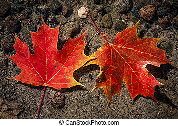 Maple leaves in water