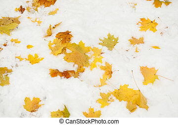 maple leaves lie on the snow
