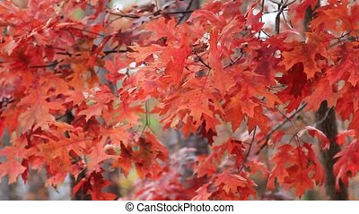 Maple leaves move in wind