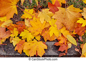 Maple Leaves next to the sidewalk Mixed Fall Colors Background.