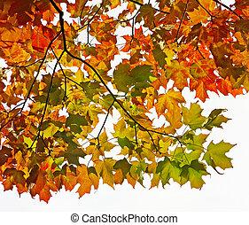 Maple leaves of orange gold and crimson in Autumn