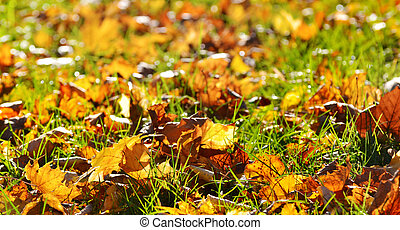 maple leaves on a background of grass