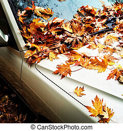 Maple leaves on a car