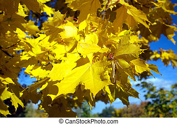Maple leaves on a tree in autumn