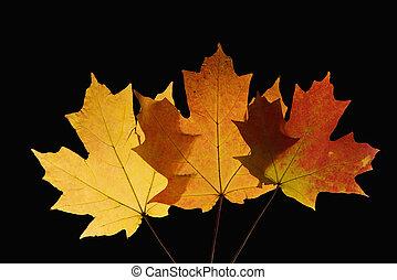 Maple leaves on black.