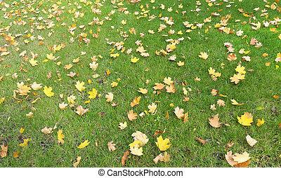 maple leaves on green lawn - fall season