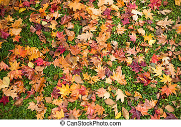 Maple leaves on green lawn