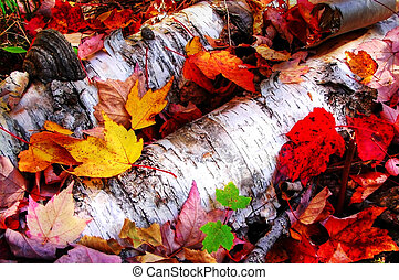 Maple leaves on paper birch