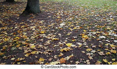 Maple leaves on the ground park autumn