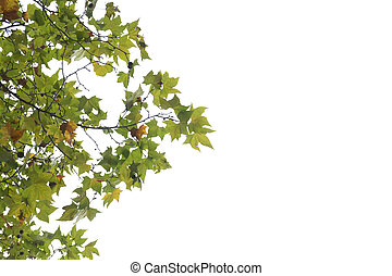 Maple leaves on the white background
