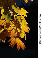 Maple Leaves on tree (Autumn)