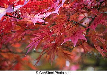 Maple leaves on tree with sunlight in autumn season