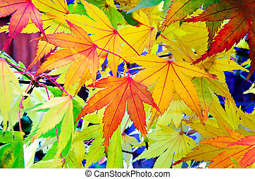 Red and gold Japanese Maple leaves.