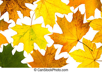 maple leaves