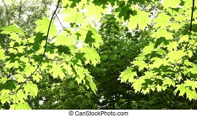 Maple leaves swaying in the wind lit by the sun, flies and...