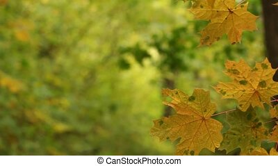 Maple Leaves Swaying in the Wind