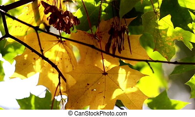 Maple leaves swaying to the wind