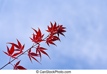 A twig with red maple leaves over a cloudy sky. The twig contains imperfect leaves.....100% natural aspect..non-edited.