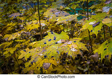 Maple leaves with black spots