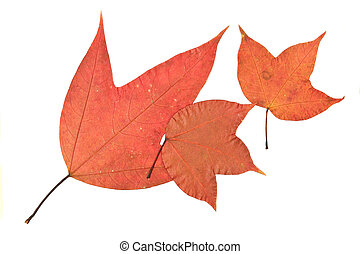 maple on white background