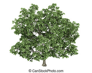Maple or latin Acer platanoides isolated on white background