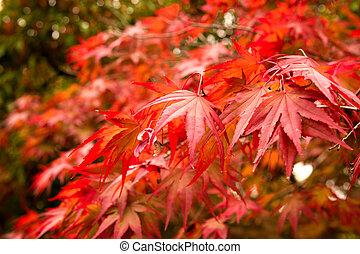 maple outono sai, fundo