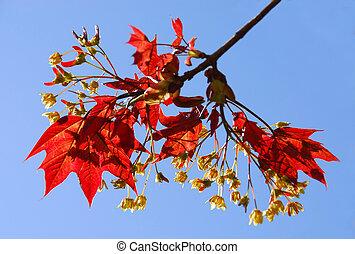 maple, ramo