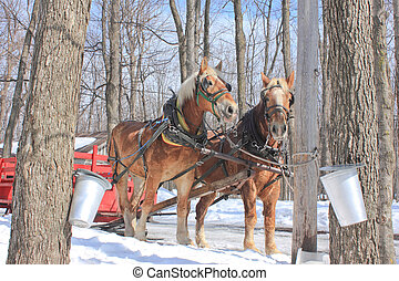 2011,03,17. Rigaud, Quebec, Canada. Two horses and a sleigh in front a sugar shack.