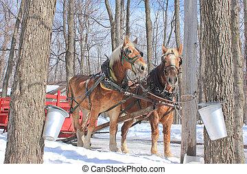 Maple Sap Buckets in Spring - 2011,03,17. Rigaud, Quebec, ...