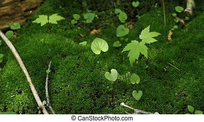 Maple seedlings.