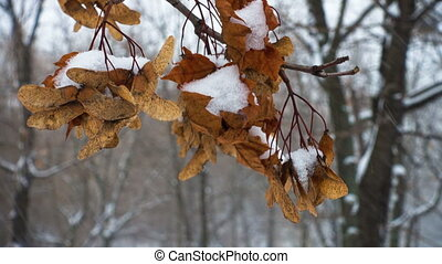 maple seeds covered with snow during the snowfall