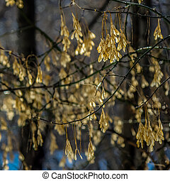 Maple seeds on a sunny day in early spring