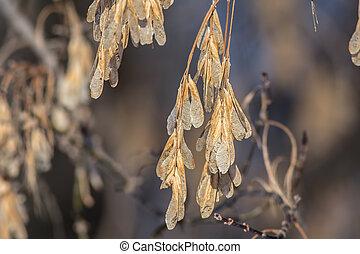 maple, sementes
