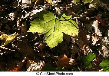 maple sheet in autumn