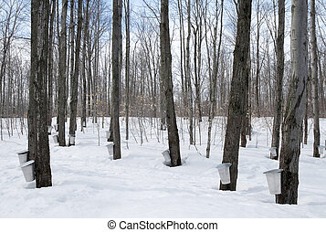 Maple syrup season in Canada - Maple syrup season in Quebec,...