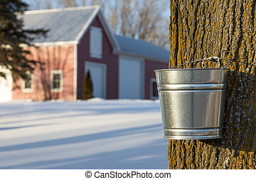 Maple Syrup Tapping - Tapping maple trees for their sap in...