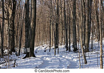 Maple Syrup Woods - Trail through a maple tree woods used...