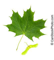 Green Maple tree (Acer Platanoides) leaf with Fruit (Samara), on white background