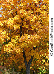 maple tree at fall - maple tree in park at fall