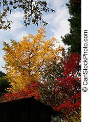 Maple tree autumn